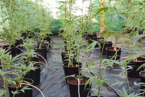Medicinal cannabis growing facility Australia